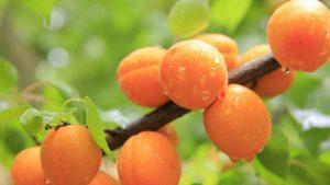 2.MARELICE (3 marelice – 51kalorij, 0g maščob) vir beta karotena in vitamina A.
